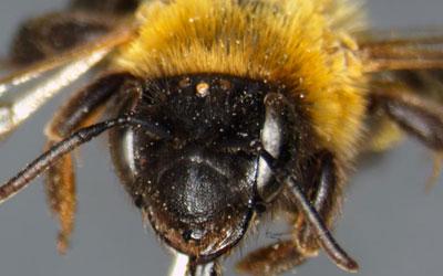 Abelha Andrena nigriceps (Foto: Deutsche Wildtier Stifung/Dr. C. Schmid-Egger)