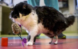 Gato conta agora com duas próteses em polímero de borracha envolvidas em titânio (Foto: NIKOLAY DOYCHINOV / AFP)