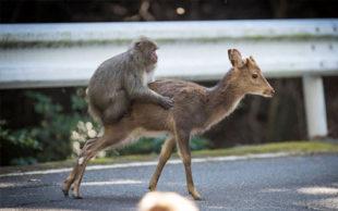 Macaco flagrado no Japão tentando copular com cerva intriga cientistas (Foto: Alexandre Bonnefoy/Editions Issekinicho/AFP)