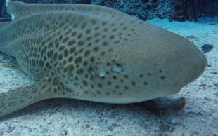 Mesmo sem a companhia de um macho, Leonie, tubarão fêmea da espécie Stegostoma fasciatum, botou três ovos com embriões (Foto: Tourism and Events Queensland)