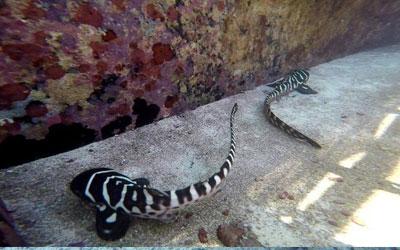 Cleo e CC são os primeiros caos relatados de filhotes de tubarão criados a partir apenas de uma fêmea que já havia acasalado anteriormente (Foto: Tourism and Events Queensland)