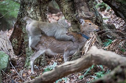 macaco_deer2