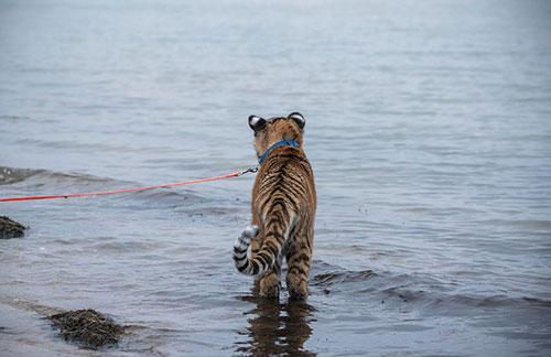 Filhote de tigre Elsa brinca no mar (Foto: Jens Buettner/dpa via AP)