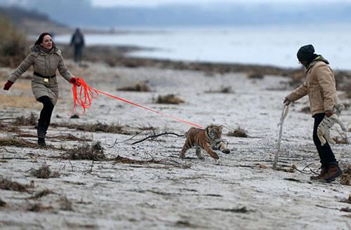 Monica Farell e seu marido Saad Rose passeiam com Elsa em uma praia na costa do Mar Báltico na Alemanha: filhote de tigre foi rejeitado pela mãe (Foto: Jens Buettner/dpa via AP)