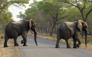 Elefantes estão entre os mamíferos mais afetados pelas mudanças climáticas (Foto: Tsvangirayi Mukwazhi, File/AP Photo)