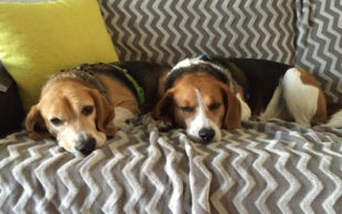 Foto: Beagle Freedom Project