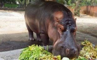 Polícia ainda tenta identificar autores e a motivação do ataque ao único hipopótamo de El Salvador (Foto: Parque Zoológico Nacional de El Salvador)