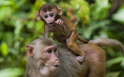 Teste em macacos de gel anticoncepcional foi bem-sucedido (Foto: YE AUNG THU / AFP)