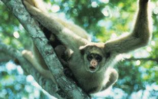Imagem do muriqui-do-norte, primata que foi incluído na lista dos animais com risco de desaparecer (Foto: Divulgação)