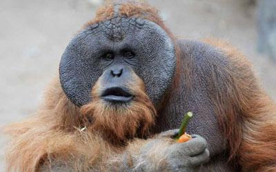 destaque_orangotango_fala