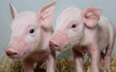 Cientistas produziram porcos que são resistentes à infecção fatal graças a gene editado (Foto: Laura Dow, The Roslin Institute)