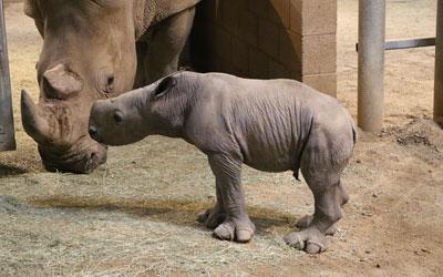 Filhote é o primeiro rinoceronte-branco a nascer no Fresno Chaffee Zoo (Foto: Vernon Presley/Fresno Chaffee Zoo via AP)