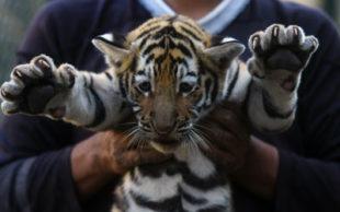 Tigre de 45 dias é mostrado em El Salvador (Foto: Marvin Recinos / AFP)