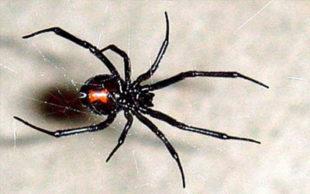 Todas as aranhas do mundo comem por ano um total de 400 milhões a 800 milhões de toneladas de insetos e pequenos animais (Foto: AFP)