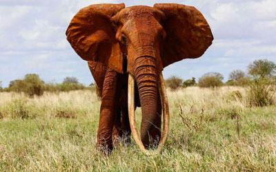 destaque_elefante_presa