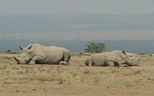 Najin e Fatu vivem em reserva no Quênia (Foto: Reuters)