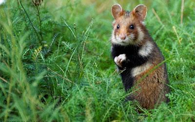 destaque_hamster_europeu