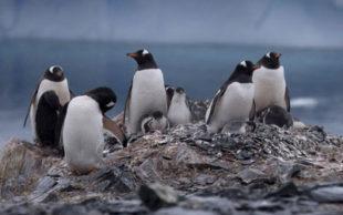 Pinguins na Antártida em foto de janeiro de 2015 (Foto: AP Photo/Natacha Pisarenko, File)