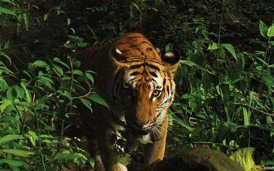 Foto de 2016 de um dos tigres encontrados na Tailândia | Foto: Reprodução Folha de S. Paulo