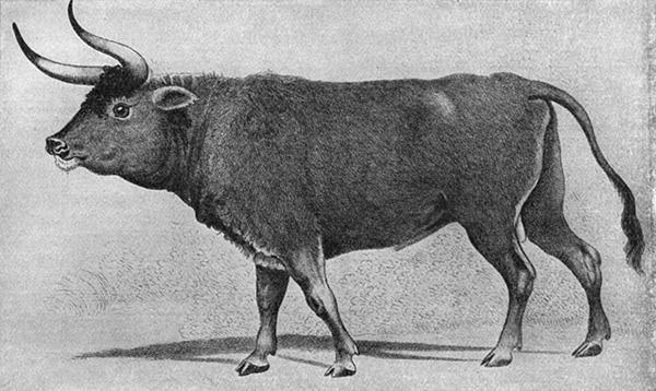 Gravura encontrada no século XIX em Augsburg. Ela pode representar: um auroque; um cruzamento de boi com auroque; ou um boi com aparência de auroque
