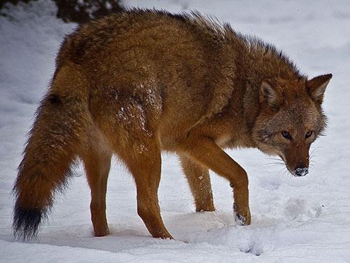 Coywolf: nome em inglês que surge do cruzamento de coiotes e lobos.