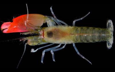 O 'Synalpheus pinkfloydi' usa sua grande garra para gerar um barulho capaz de matar peixes pequenos (Foto: Arthur Anker)