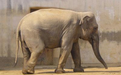 destaque_elefante_indiano