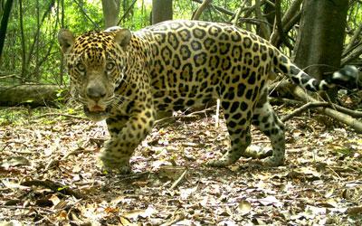 Onça-pintada pesa 72 kg (Foto: Divulgação/Instituto Mamirauá)
