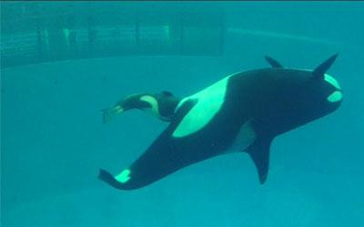 Bebê orca nasce em cativeiro nos EUA (Foto: BBC)