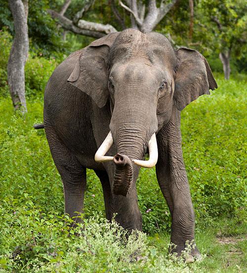 elefante_africano