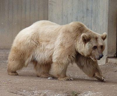 Grolar: um híbrido gerado pelo cruzamento do urso pardo com o urso polar.