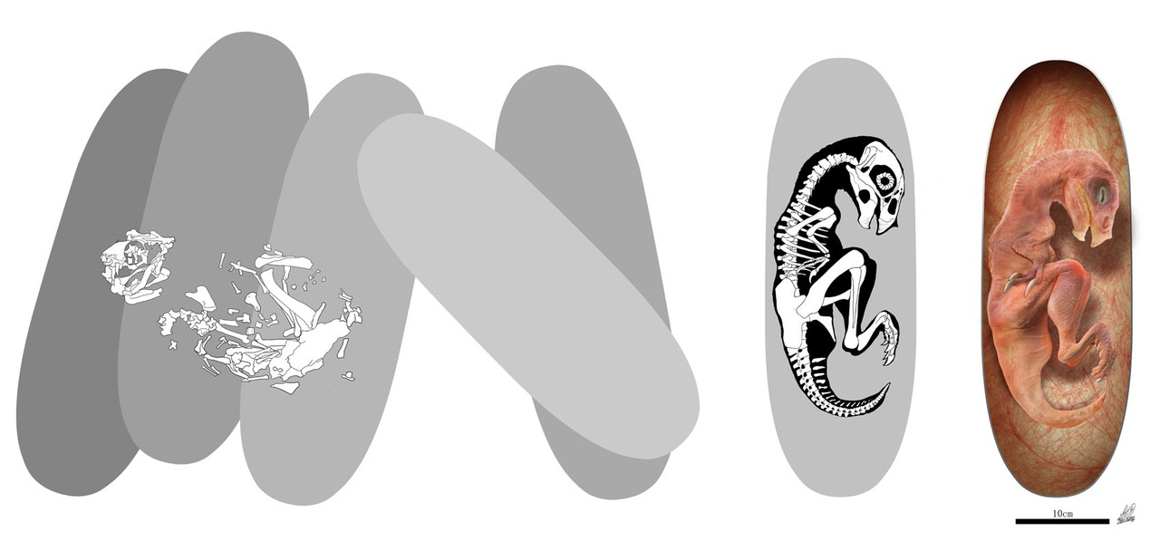 Ilustração de embrião de Beibeilong e fósseis de ovos, com reconstrução do esqueleto à direita (Foto: Zhao Chuang (ilustração))