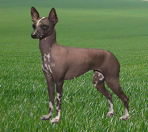 Cão da raça pelado mexicano (xoloitzcuintle), que provavelmente descende de cachorros que cruzaram o Estreito de Bering com os ancestrais dos povos nativos da América Penny (Foto: Inan/Divulgação)
