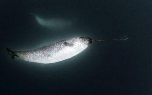 Macho de baleia narval, conhecido como 'unicórnio do mar' (Foto: Divulgação/Daniel Botelho)