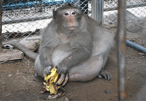macaco_gordo