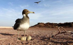 Gaivota guarda seus ovos na ilha de Sir Bu Nuair, no Golfo Pérsico; estudo concluiu que a forma do ovo depende das habilidades de voo do pássaro (Foto: KARIM SAHIB / AFP)