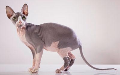 Sphynx Cat For Sale In Pakistan