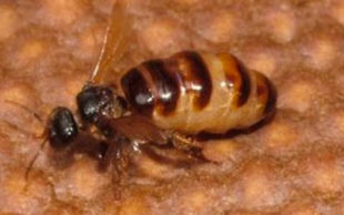 destaque_abelhas