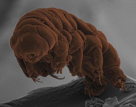 Para pesquisadores, tardígrados estão mais próximos das minhocas do que dos insetos (Foto: Kazuharu Arakawa and Hiroki Higashiyama)