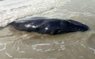 Filhote de baleia foi encontrado morto em praia do sul da Bahia (Foto: Site Prado Online)