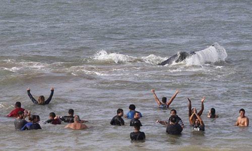 Após 24 horas encalhada na Praia Rasa, em Búzios, baleia Jubarte consegue se soltar, e grupo que ajudou a devolvê-la ao mar comemora - Pablo Jacob / Agência O Globo