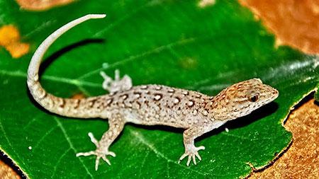 A cabeça e a boca dessa espécie de lagarto aumentaram em apenas 15 anos no Brasil (Foto: Guilherme Santoro)