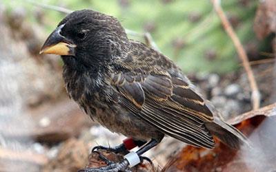 Representante da nova espécie, gerada pelo cruzamento de duas espécies distintas da ave (Foto: P.R.Grant)